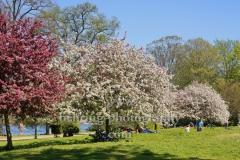 """Bluehende Baeume auf der Insel der Jugend im Treptower Park, """"STADTANSICHTEN"""", Berlin, 22.04.2020"""