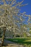 """Insel der Jugend, bluehender Baum, im Treptower Park, """"STADTANSICHTEN"""", Berlin, 23.04.2020"""
